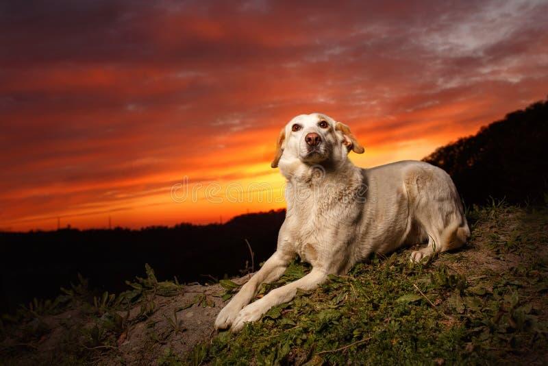 Mixed Breed White Dog Lies on Manger. Mixed Breed White Dog Lies on Ground at Evening light royalty free stock image