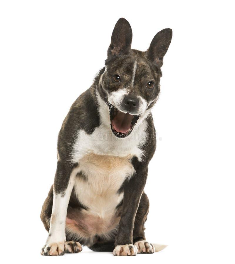 Mixed breeded dog barking, isolated stock image