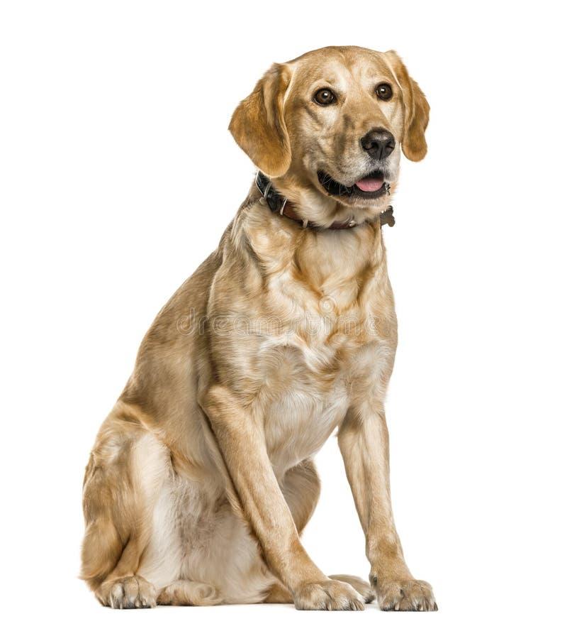 Mixed breeded dog sitting, isolated stock image