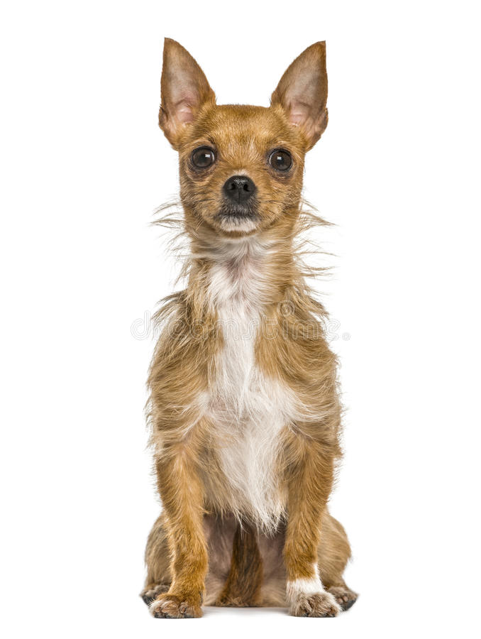 Mixed breeded dog sitting, isolated royalty free stock image
