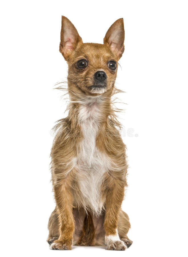 Mixed breeded dog sitting, isolated stock images