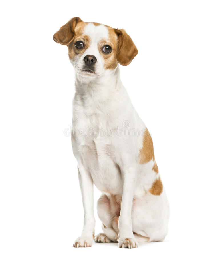 Mixed breeded dog sitting, isolated stock photography