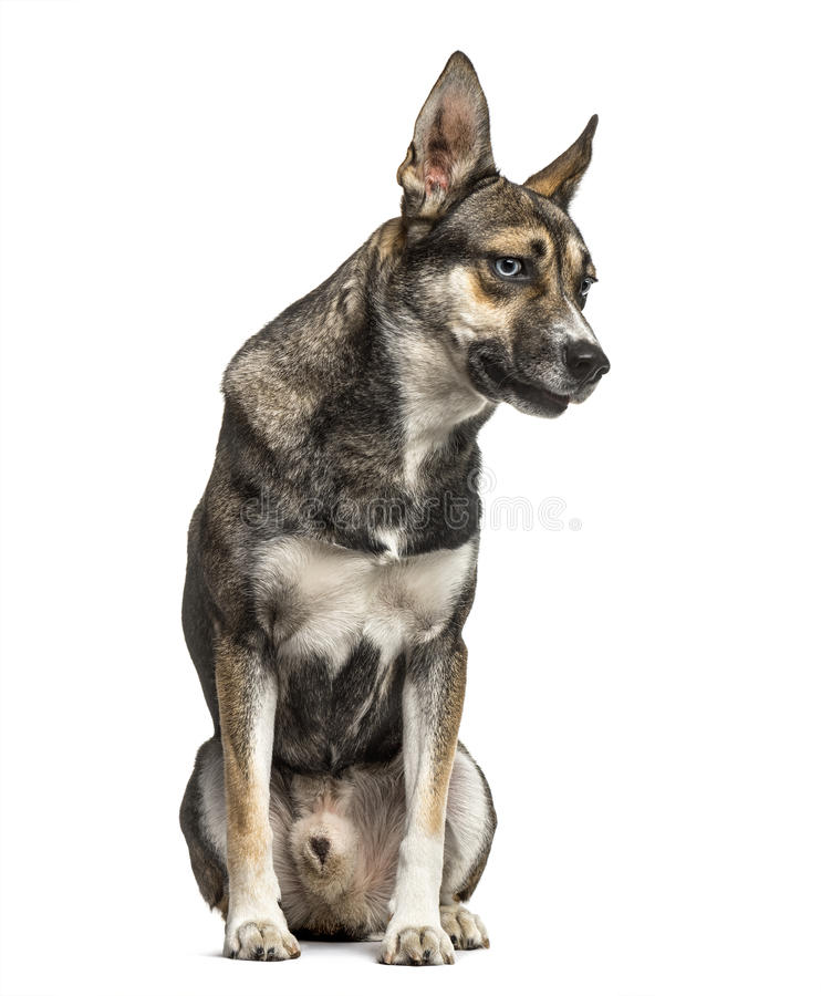 Mixed breeded husky german shepherd, isolated. On white stock images