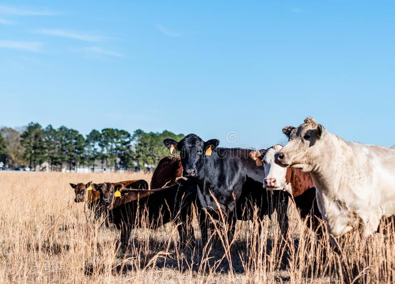 Mixed cattle herd in tall autumn grass. Herd of mixed breed beef cows and calves in tall dormant grass in an Alabama pasture stock images