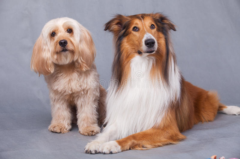 Mixed Cocker Spaniel and Rough Collie. Portrait in studio royalty free stock photography