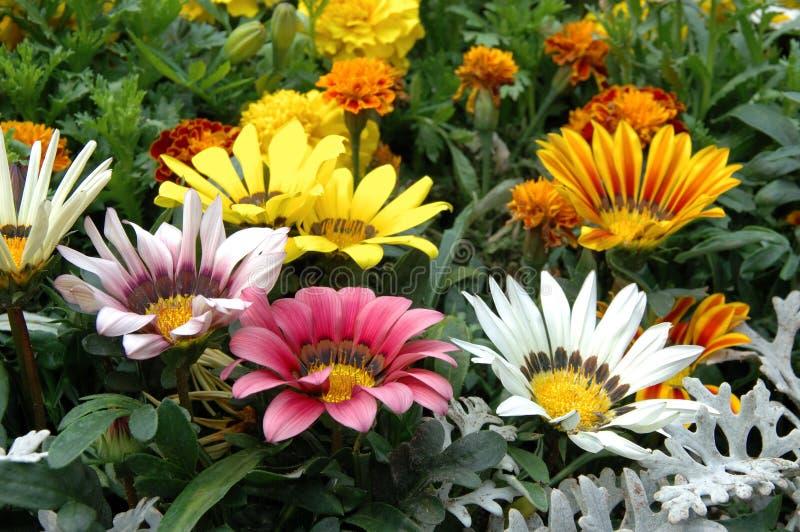 Mixed color gazania. Close up of mixed color gazania stock photos