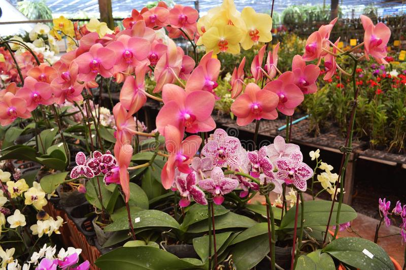 Mixed color orchids from Thailand royalty free stock photo