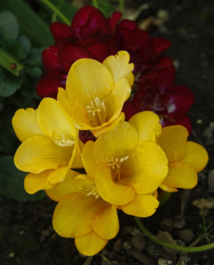 Mixed coloured Freesias stock photo