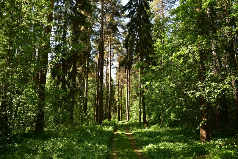 Mixed coniferous and deciduous forest of pine trees, shrubs, dirt road in the grass. Sunny and shaded woods stock photos
