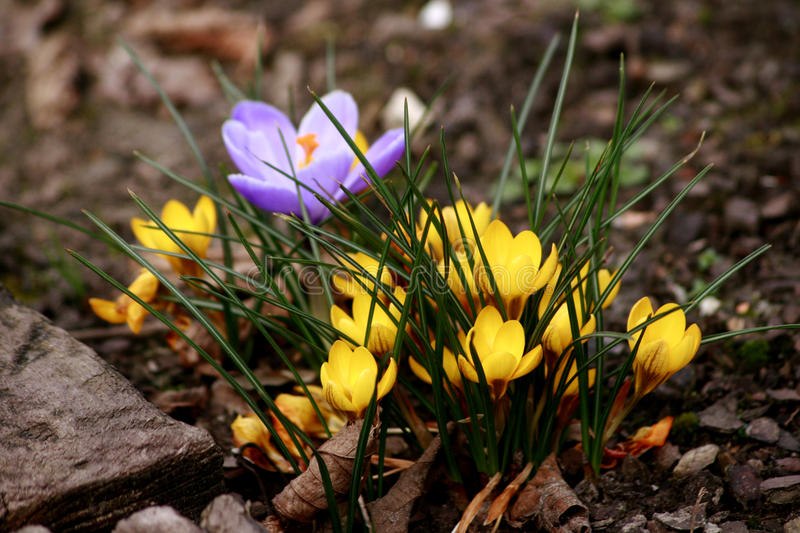 Download Mixed Crocus Flowers stock photo. Image of flower, fine - 13914386