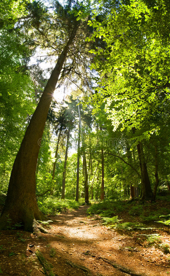 Mixed forest. Vertical panoramic image of a footpath through a beautiful green mixed forest royalty free stock photo