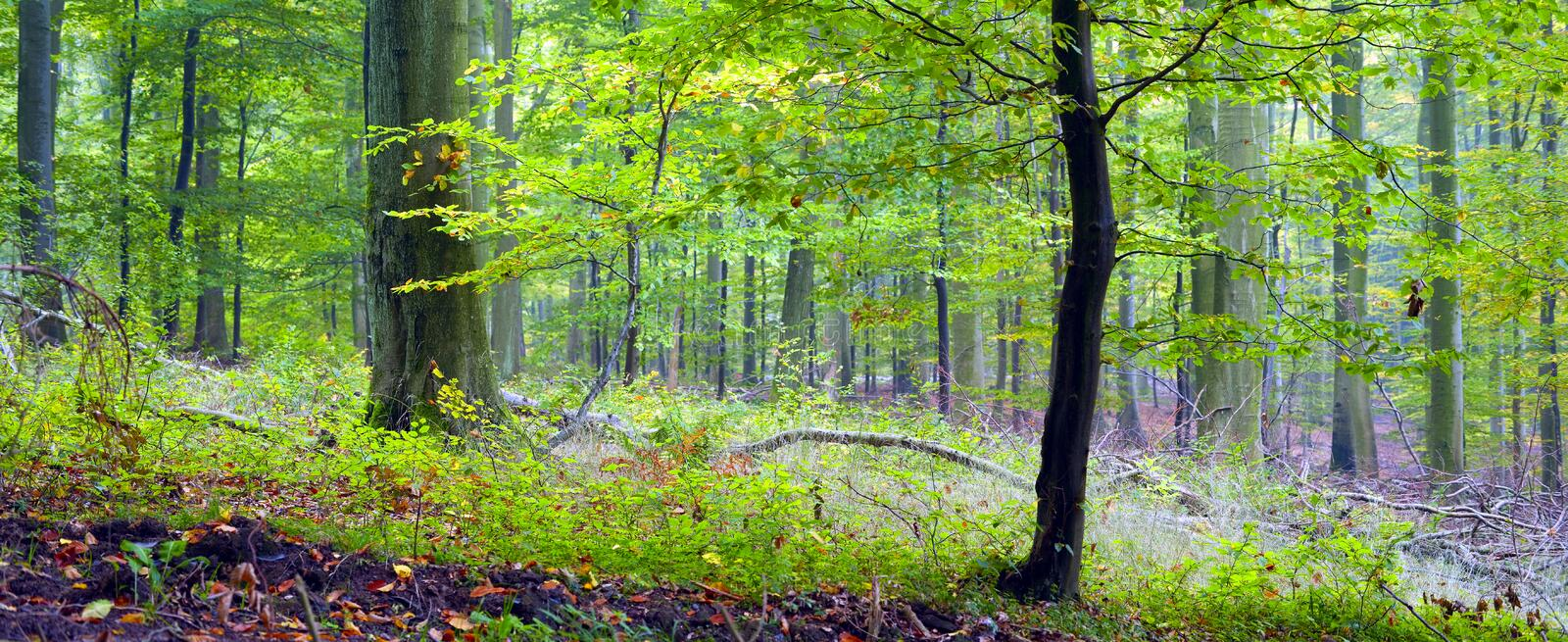 Mixed forest. (beech, hornbeam and oak ) in a misty day, autumn, Saarland / Germany royalty free stock image