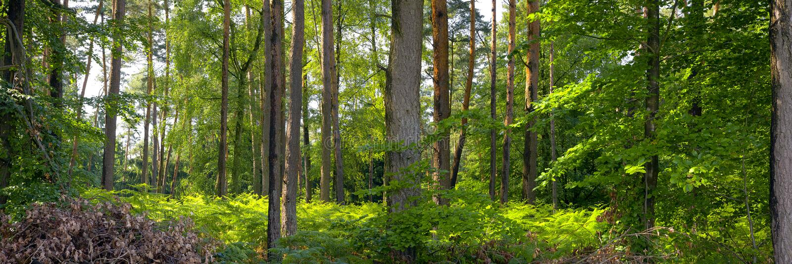 Mixed forest. A mixed forest ( pine,spruce and beech) in a sunny day, summer by Beckingen, Saarland / Germany royalty free stock photography