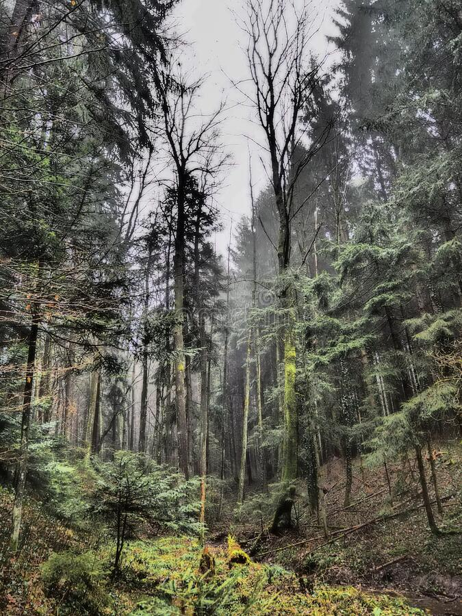 Mixed forest on a foggy day. In autumn stock image