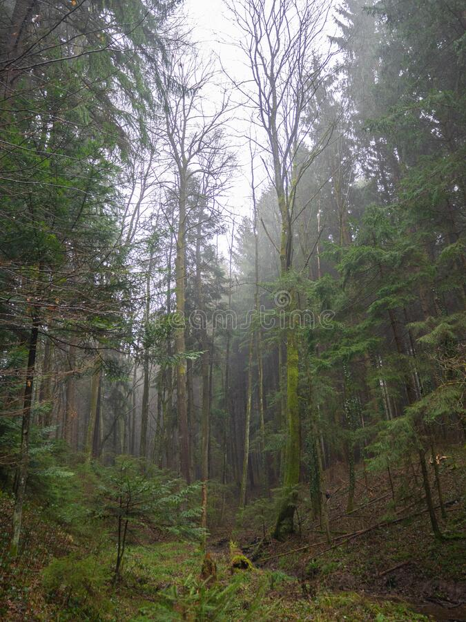 Mixed forest on a foggy day. In winter season royalty free stock photos