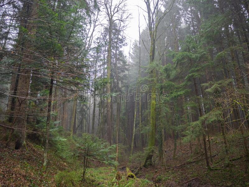 Mixed forest on a foggy day. In winter season stock photography