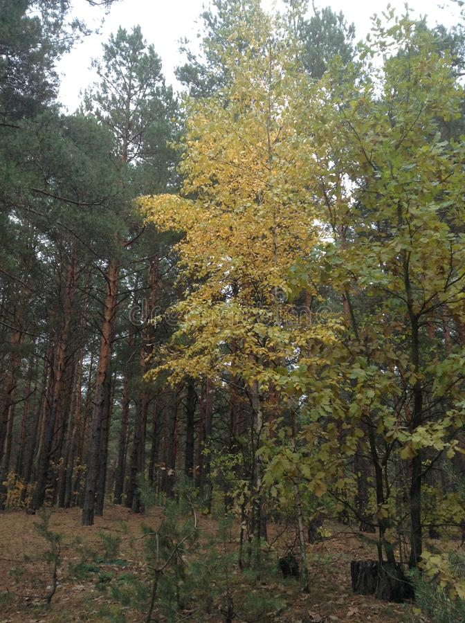 Mixed forest. In early autumn stock photography
