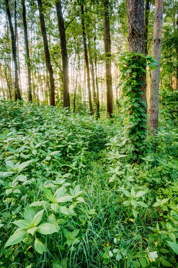 Mixed Forest, Russian Nature. Dense Mixed Forest, View In Summer stock photography