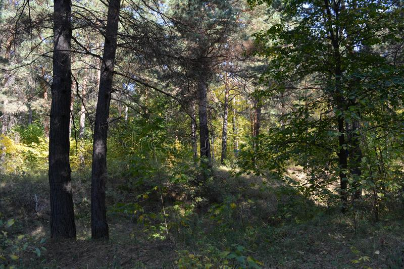 Mixed forest in september. Russian landscape.  stock photo