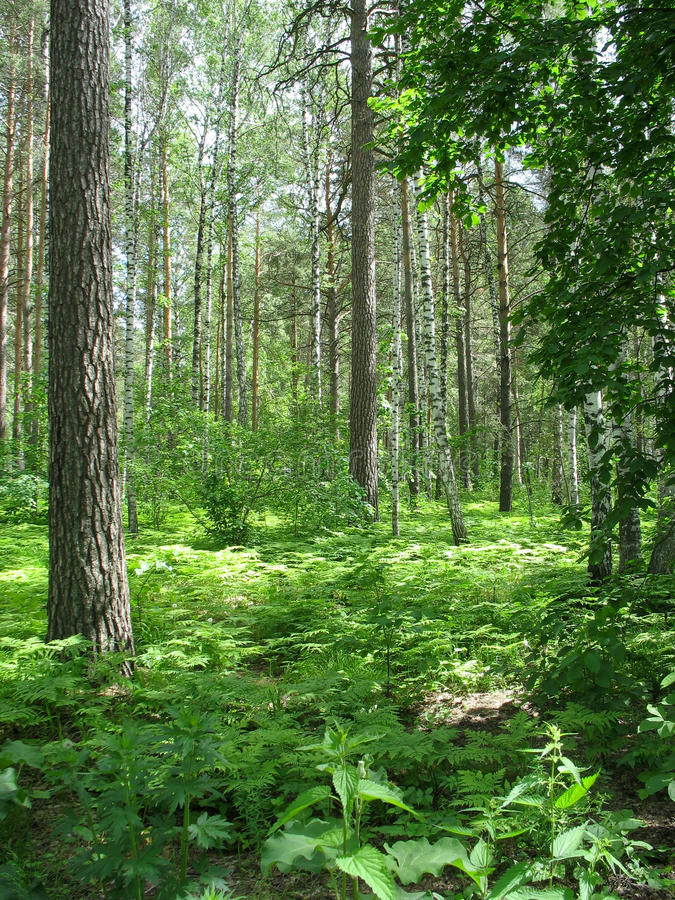 Mixed forest. Summer landscape stock photo