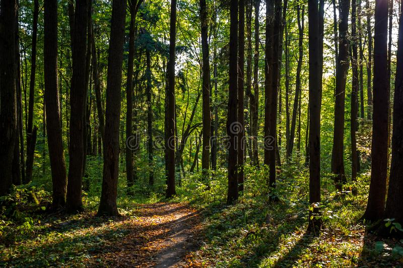 Mixed forest in the sunlight. Mixed summer forest in the sunlightn stock photos