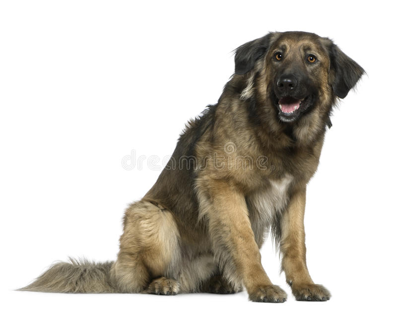 Mixed German Shepherd dog, 3 years old, sitting. In front of white background royalty free stock photos
