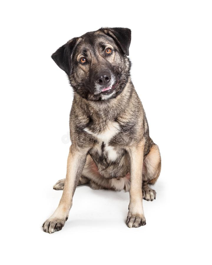 Mixed Giant Breed Friendly Dog Sitting Looking Forward royalty free stock image