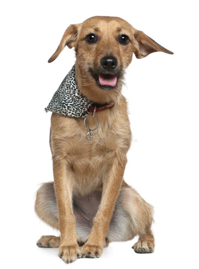 Download Mixed Griffon Wearing Handkerchief Stock Photo - Image of domestic, griffon: 15359508