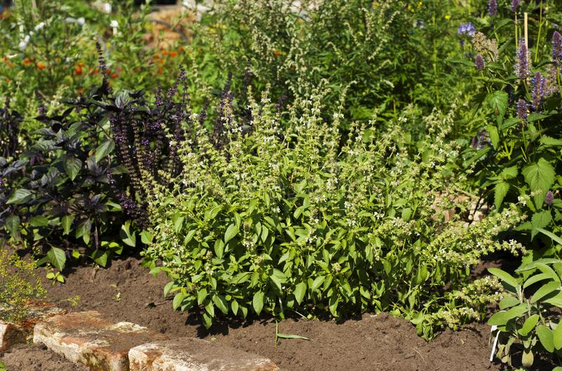 Mixed herb plants growing in summer. A garden of flowering mixed herb plants in summer in an urban garden royalty free stock photography