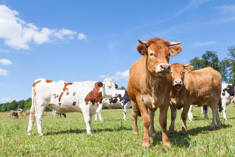Mixed herd of Holstein dairy and Limousin beef cows in a sunny p. Mixed herd of Holstein dairy and Limousin beef cattle in a sunny pasture with both red and stock image