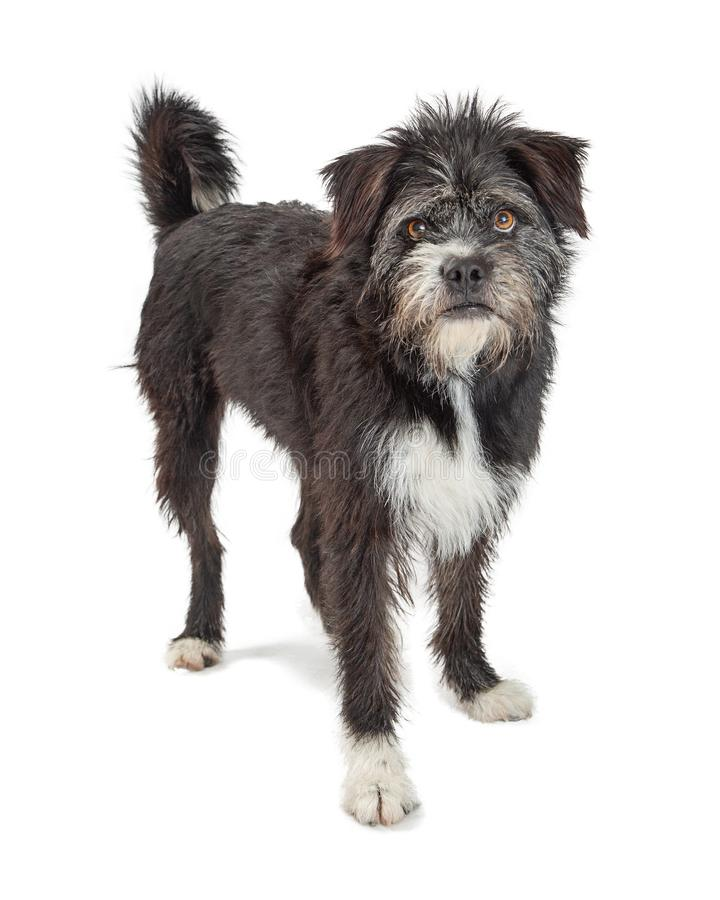 Mixed Large Black Terrier Scruffy Dog royalty free stock photography