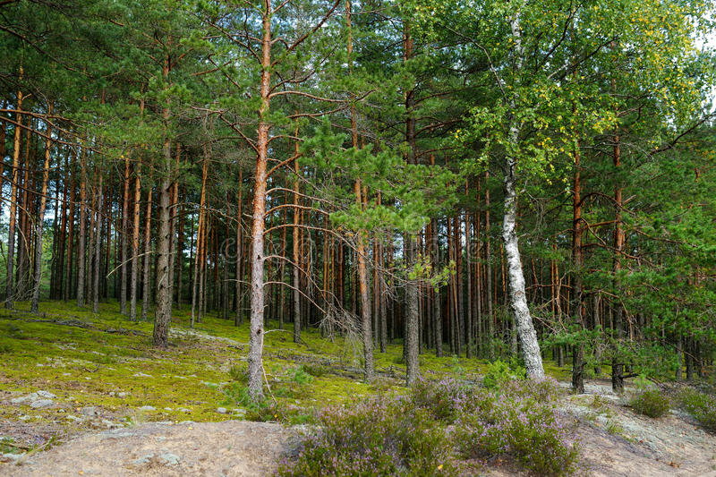 Mixed pine and deciduous forest. Beautiful mixed pine and deciduous forest, Lithuania, Europe royalty free stock photos