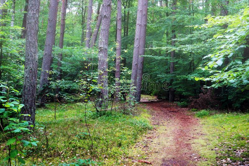 Mixed pine and deciduous forest. Path in mixed pine and deciduous forest stock images