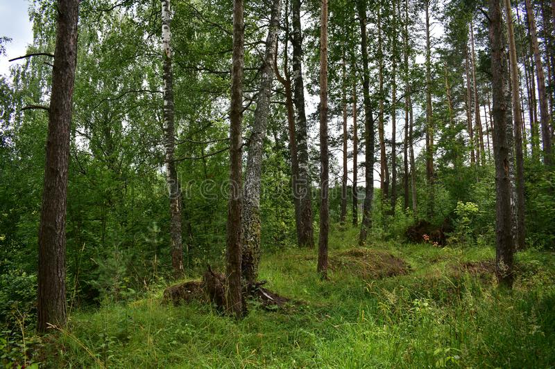Mixed pine forest with birch trees, tall grass, hug. The trees stock photo