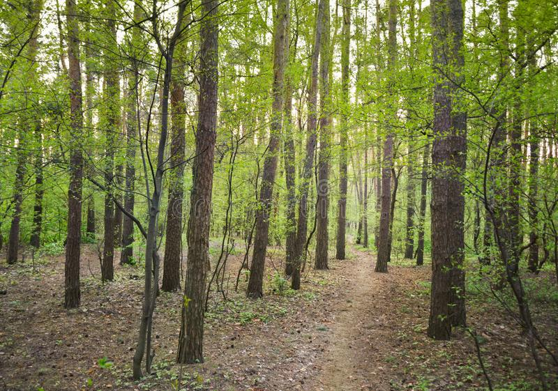 Mixed pine and leafy forest in spring. Path through mixed pine and leafy forest putting forth in spring time royalty free stock photos