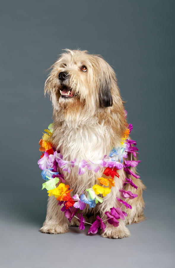 Download Mixed-Race Dog With Hawaii Necklace In Studio Stock Photo - Image: 30883192