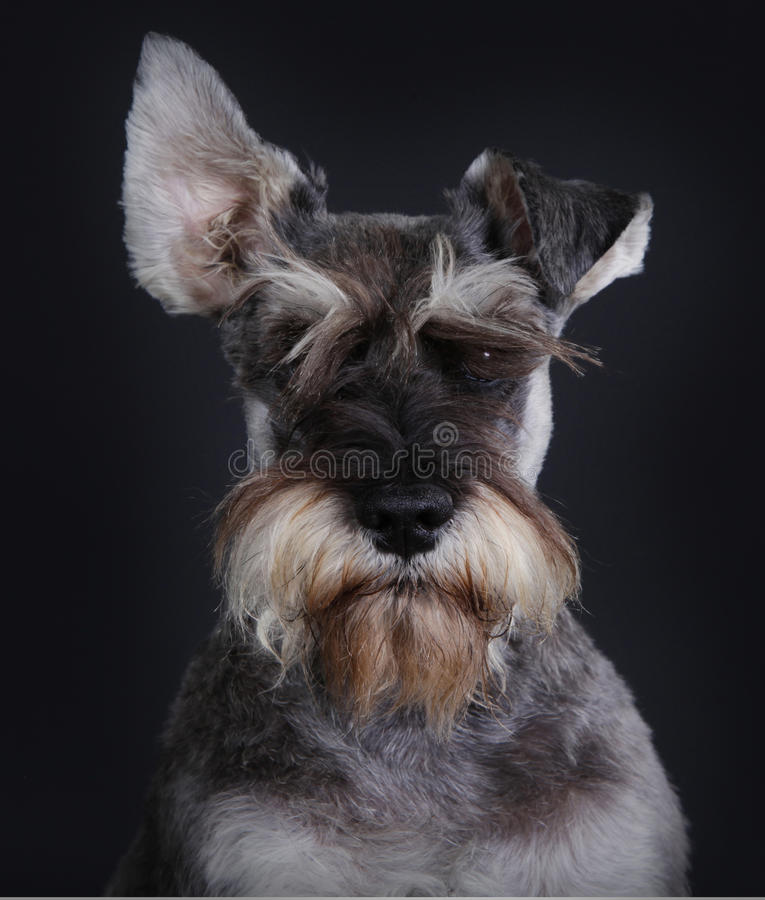 Mixed Schnauzer dog stock photo