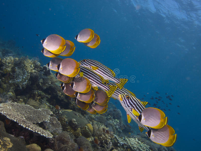 Mixed school of philippine butterflyfish and ocean oriental sweetlips Tulamben 01 royalty free stock photos
