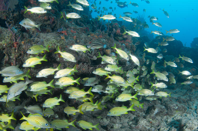 Download A Mixed Shool of Grunts stock image. Image of underwater - 31790891
