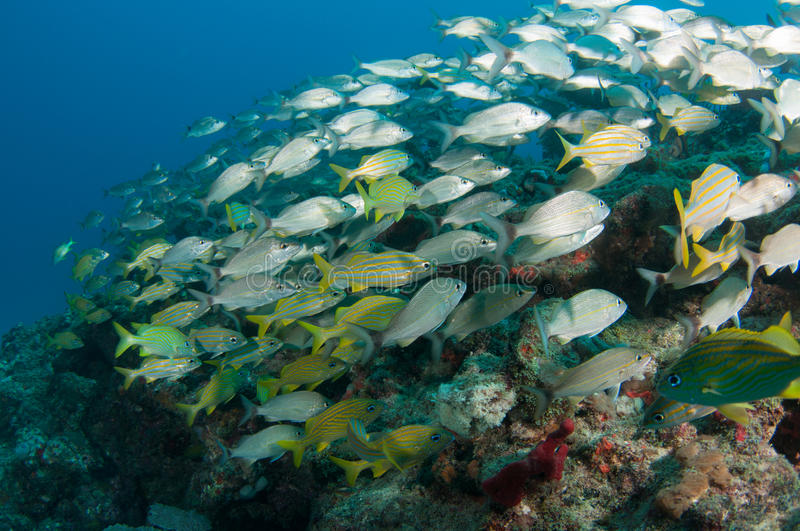 Download A Mixed Shool of Grunts stock photo. Image of atlantic - 32272960