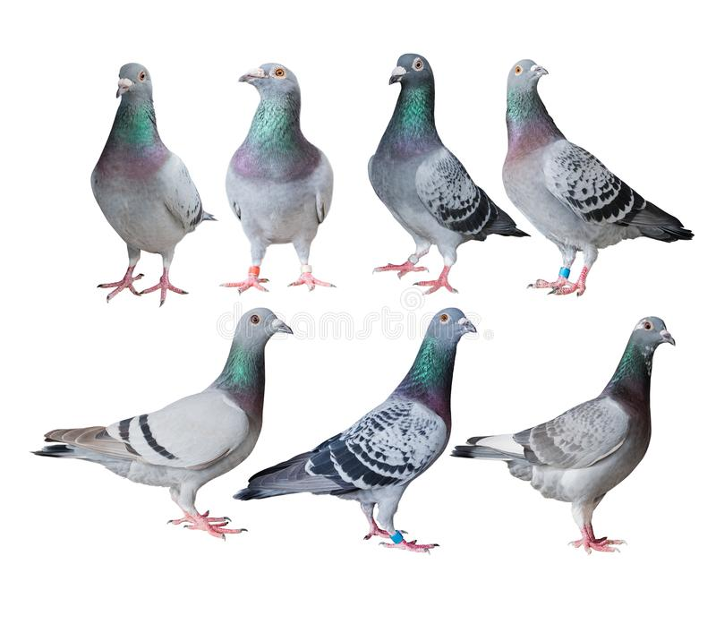 Mixed of speed racing pigeon bird white background stock illustration