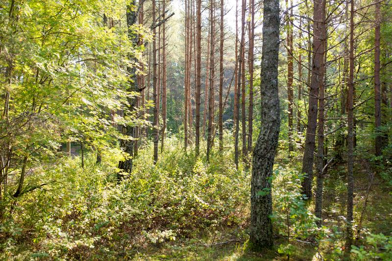 Mixed summer forest. Nature, season and environment concept - mixed summer forest royalty free stock photo