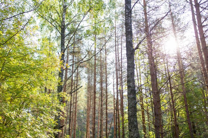 Mixed summer forest. Nature, season and environment concept - mixed summer forest stock images