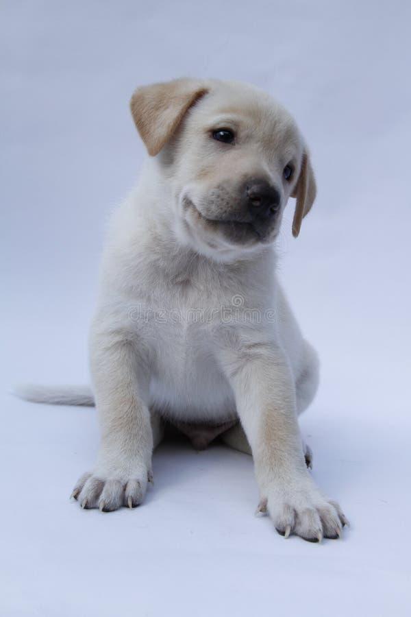 Mixedbreed щенок спасенный на белизне предпосылки стоковое фото