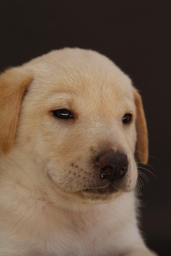 Mixedbreed щенок спасенный на черноте предпосылки стоковые изображения rf