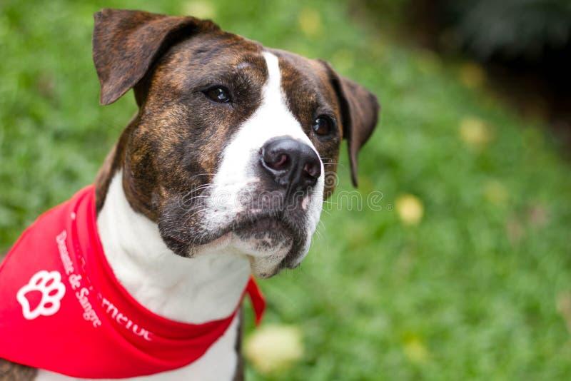 A mixedbreed dog donating blood stock photography