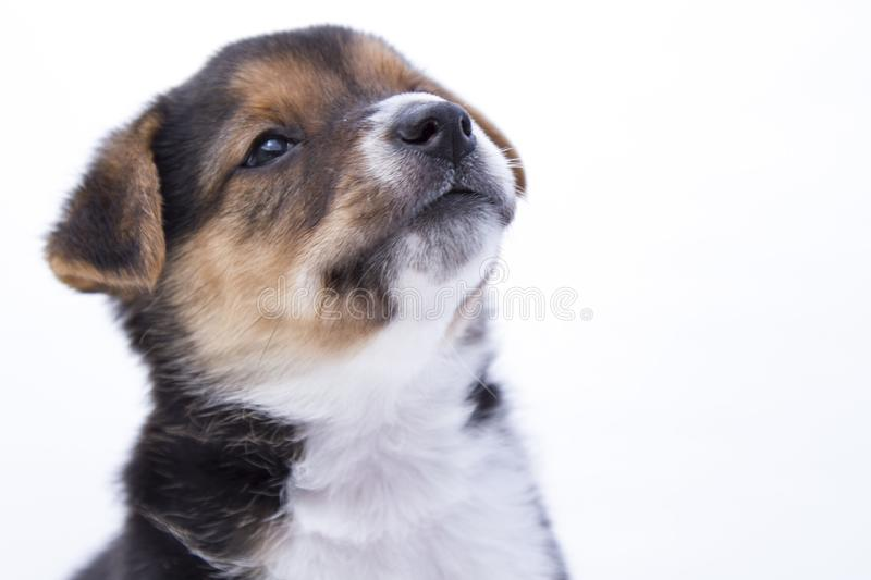 A mixedbreed puppy rescued on a background white stock photo