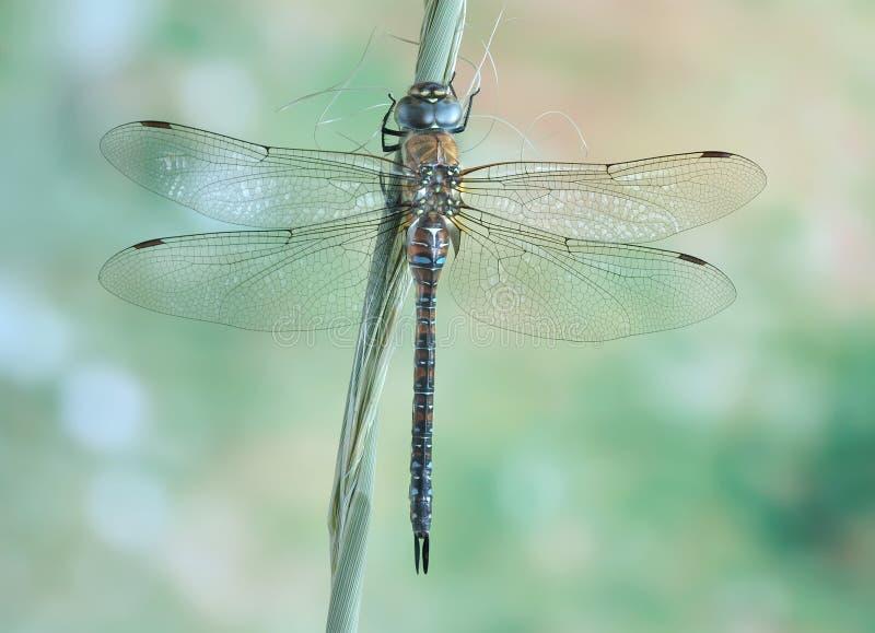 Mixta Aeshna Dragonfly (женское) стоковые изображения rf