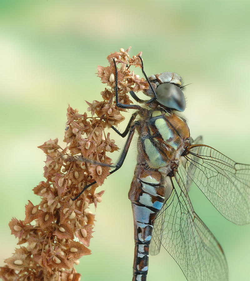 Mixta Aeshna Dragonfly (мужчина) стоковая фотография rf