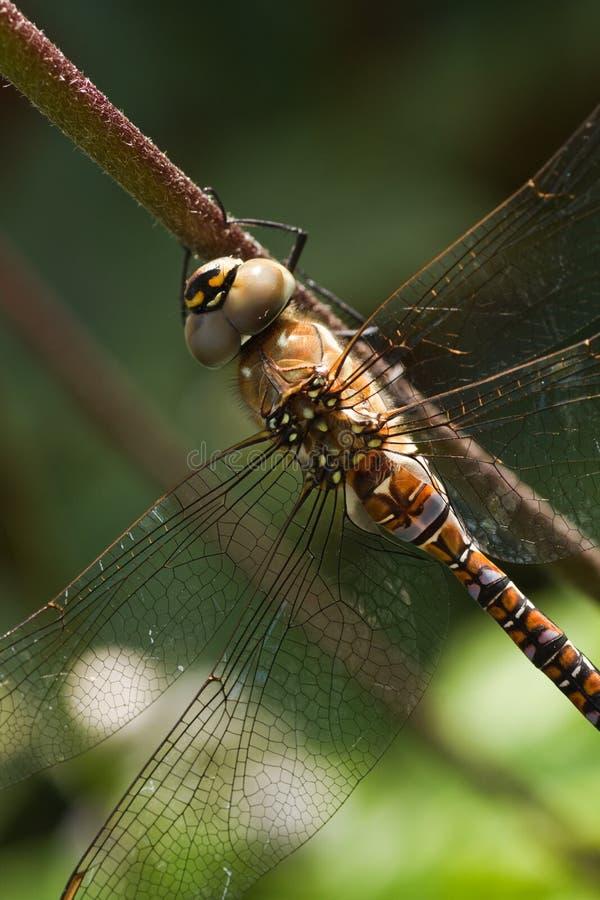 Mixta di Aeshna della libellula o venditore ambulante migratore immagini stock